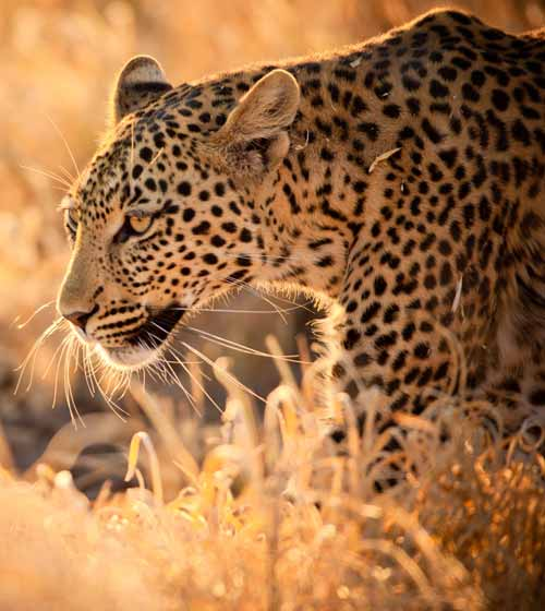 A Kenyan Safari following the Big Five in Majestic Kenya